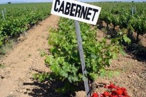 Wijngaard met Cabernet Sauvignon druiven