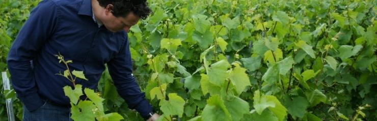 druiven testen in de wijngaard
