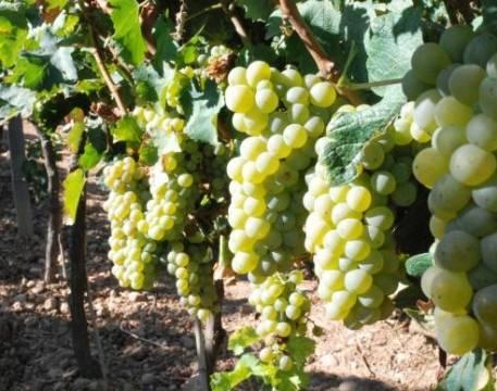 Palena Sauvignon Blanc